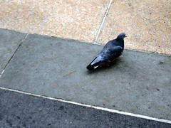 IMG_0818 (LinePlace) Tags: nyc bird pidgeon rockellercenter