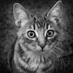 Katie the Kitten (arbyreed) Tags: blackandwhite bw monochrome cat kitten squareformat kittycat arbyreed ldlportraits