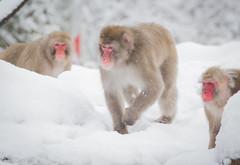 IMG_0716.jpg (Mark Dumont) Tags: snow animals mammal snowflakes japanese zoo monkey mark cincinnati dumont macaque explored