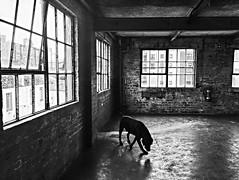 big, empty, light spaces are an art form. (www.lucyalicephotography.com) Tags: edinburgh biscuit factory natural light black lab adventures window architecture old building warehouse city emotive dog littledoglaughedstories littledoglaughednoiret