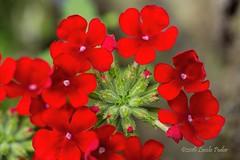 Phlox (laszlofromhalifax) Tags: backyard halifax novascotia canada plant summer red flower bloom