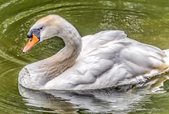 Young Swan (robinta) Tags: nature wild birds animal wildlife wildfowl reflection swan detail colour pentax sigma18200mmhsmc sunderland water lake waterfowl mowbray
