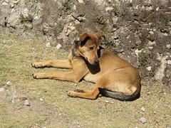 """Lac Titicaca: notre compagnon de balade sur l'Isla del Sol. On s'arrêtait, il s'arrêtait; on avançait, il avançait; on pique-niquait, il faisait sa sieste...Trop chou! <a style=""""margin-left:10px; font-size:0.8em;"""" href=""""http://www.flickr.com/photos/127723101@N04/28567056186/"""" target=""""_blank"""">@flickr</a>"""