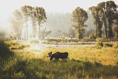A Moose in Moose, Wyoming. (- Anthony Papa -) Tags: moose wymoing nature wildlife animals grass green sun morning trees vintage amazing canon canon5dmkii 224105mm llens tumblr anthony papa photos lightroom photoshop matte
