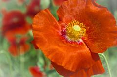 Sunshine & Poppies (L E Dye) Tags: devonianbotanicalgardens alberta canada d5100 floral ledye nikon orange summer flower poppies