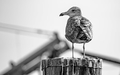 Rye Harbor, Rye New Hampshire (R_Morency_Photo) Tags: beach ocean sea seagull newhampshire newengland nikon d7000 70300 wildlife birds