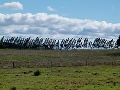 O inverno ainda sobrevive (IgorCamacho) Tags: vento windy wind winter suldobrasil sul southern brasil paran brazil trees rvores cu sky ventoso paisagem landscape inverno