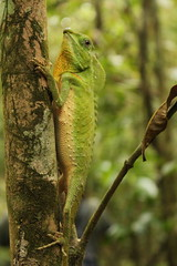 Lyriocephalus [Hump Nosed Lizard] (il carciofo) Tags: srilanka singaraja rainforest lyriocephalus hump nosed lizard