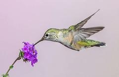 an unusual visitor (Eric Gofreed) Tags: calliopehummingbird hummingbird mybackyard sedona villageofoakcreek yagvaggpaicounty
