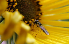 On the face of the sun (TJ Gehling) Tags: insect diptera fly syrphidae hoverfly sphaerophoria plant flower asterales asteraceae sunflower californiasunflower helianthus helianthuscalifornicus canyontrailpark elcerrito