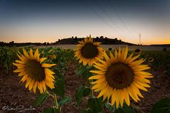 _ISR4098 (Diapo.2007) Tags: nocturna nikond300 nikon girasoles isrpoti sunset