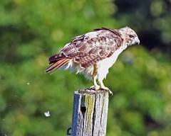 DSC-5438=1Red-tailed Hawk (Explored) (laurie.mccarty) Tags: redtailedhawk rapture greenbackground nature nikond810 nikon birds avian hawk