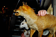 160416 Billy and the Fox-0075 (whitbywoof) Tags: billy rescue pet dog pedigree whippet stuffed fox