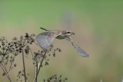 Red-backed shrike / pikkulepinkinen (juv.) (Tuomo Nyknen) Tags: shrike redbacked pikkulepinkinen lepinkinen suomenlinnut lintu finnishbirds bird bif birdsinflight inflight