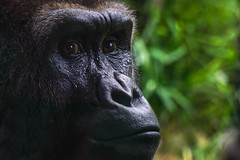 (Light Echoes) Tags: sony a6000 2016 summer august philadelphiazoo zoo philadelphia primate ape gorilla lowlansgorilla portrait