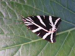 Russischer Bär - Falena dell'edera (sangiovese) Tags: russischer bär euplagia quadripunctaria arctiinae falter farfalla falena edera