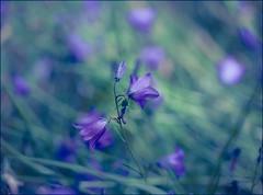 Blue Bokeh (Atrista Vig ) Tags: 100mm blackforest blau blue blumen canon canonef100mm128lisusm canoneos5dmarkii flowers fotowanderung outdoor schluchsee schwarzwald