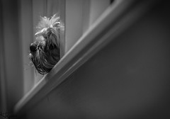 Peggy on the Stairs (Wayne Cappleman (Haywain Photography)) Tags: wayne cappleman haywain photography pet dog monochrome black white