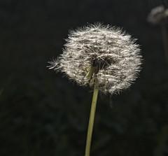 Dandelion in the Sun (neilalderney123) Tags: 2016neilhoward dandelion flower macro olympus omd