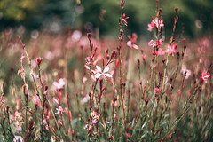 Meadow flowers (freestocks.org) Tags: autumn blooms bokeh color colour cottage country delicate fall flower flowers garden green meadow nature outdoor park pink pinkish pretty spring springtime subtle summer white
