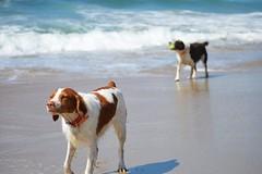 DSC_0122 (2) (Lindsay Mang) Tags: fetch beach southern california orange county brittany spaniel bird dog
