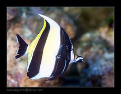 zanclus0422_170516 (kactusficus) Tags: reef aquarium captive fauna fish coral rcifal zanclus cornutus zanclidae morrish idol idole maures mauresque