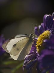 Fin de saison lumineuse * (Titole) Tags: piéride butterfly titole sunlight nicolefaton purple reinemarguerite chinaaster friendlychallenges