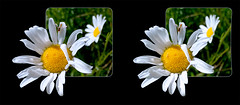 Hoverfly on Daisy - Crosseye 3D (DarkOnus) Tags: pennsylvania buckscounty huawei mate8 cell phone 3d stereogram stereography stereo darkonus closeup macro insect fly hoverfly daisy daisies ttw oob oof crossview crosseye