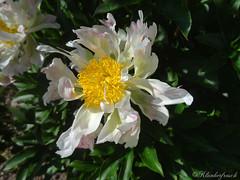 crazy Peony :-) (SecretGarden - Klunkerfrosch) Tags: secretgarden peony flower