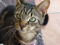 Mara ! (Mara 1) Tags: cat kitten animal pet tabby stripesblack grey coat fur indoors whiskers m