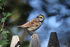 """White-throated Sparrow"" ""Zonotrichia albicollis"" (jackhawk9) Tags: whitethroatedsparrow zonotrichiaalbicollis sparrow birds wildlife nature southjersey jackhawk9 newjersey canon ngc backyardbirding fantasticnature"