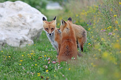In A Dream (marylee.agnew) Tags: red fox dream flowers canine colors nature prairie wildlife mammal sunshine