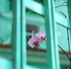 IMG_9988-01 (dianaguimaraes99) Tags: profundidadedecampo corpastel flor orquidea 50mm canon 50mm18 landscape blue flower orchid details detalhes azul natureza nature natural woods paesaggio sweet serene