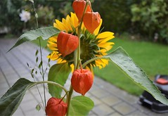 Bouqet Sunflower and Lampion 18.09 (4) (tabbynera) Tags: bouquet sunflower lampion