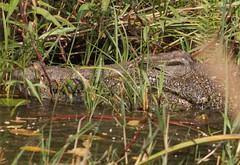 Crocodile (Jos Rambaud) Tags: cocodrilo crocodile reptil animal animals animales okavango okavangodelta wildlife wild naturaleza nature natura natureza nationalpark africa afrika