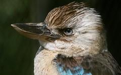 Kookaburra Kool (Ger Bosma) Tags: 2mg164184filtered blauwvleugelkookaburra blauwvleugelijsvogel daceloleachii bluewingedkookaburra haubenliest haubenliesteisvogel martinchasseurailesbleues cucaburraaliazul  blvingadkookaburra kingfisher australian closeup close head bill portrait