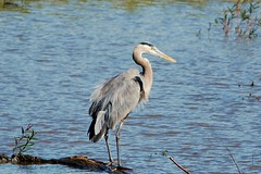 Heron (iluvweknds) Tags: stclair stclaircounty county missouri rural nature natural conservation heron bird