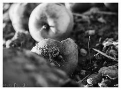 FallObst (sabine.lange88) Tags: fallobst obst erde schimmel verfall verdorben schwarz weis sw black white apfel apple