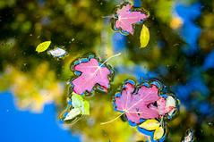 Reflets d'automne (Autumn reflections) (Joanne Levesque) Tags: explore20161018 automne jardinbotanique autumn fall reflets reflection feuilles leaves tang pond botanicalgarden montreal quebec nikond90