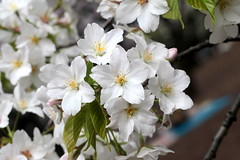 Memory of April Flower () (Kanji Yamada) Tags: cherryblossom
