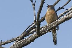 Fan-tailed Cuckoo  2016-09-11 (60D_3349) (ajhaysom) Tags: fantailedcuckoo cacomantisflabelliformis craigieburn merricreek melbourne australia canoneos60d sigma150600
