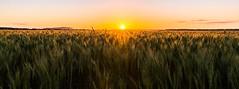 barley fields sunset (andrew.walker28) Tags: landscape field barley crop harvest farm farmland cambooya queensland australia