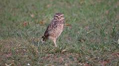 coruja buraqueira (heliocucatojunior) Tags: bird owl coruja nature