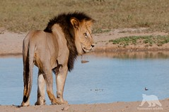 African Lion (fascinationwildlife) Tags: animal mammal africa afrika african lion predator wild wildlife nature natur national park transfrontier kalahari kgalagadi south nossob pride water hole black maned male dominant lwe