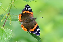 Red Admiral (paul.taylorptct) Tags: butterfly insect red admiral fresh