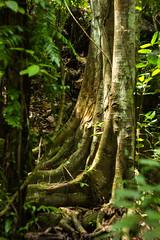 IMG_1904_1 (pavel.milkin) Tags: thailand phuket kathu travel nature kathuwaterfall leaves tree stair canon canon550d 550d helios helioslens helios442 442 green colour bokeh bokehlicious