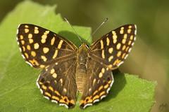 IMG_8582-2 (Jamil-Akhtar) Tags: canon6d tamron 200400 canon500d closeuplens nature macro insect butterfly islamabad pakistan identified dodonadurga commonpunch