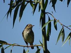 Hermit Thrush DSC05489 (BayonneBirder) Tags: bird thrush hermit