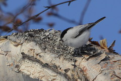 White shift (Sergei Golyshev (reloaded :)) Tags: willow tit parus poecile montanus little bird birding telephoto nature fauna animal outdoor kamchatka russia tree branch lichen patch
