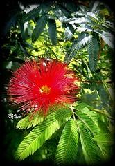 Caliandra... A esponjinha brasileira. MCris (mcrisab) Tags: cor flora beleza magia esponja folhas flores flowers